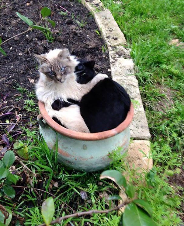 gatos en maceta 16