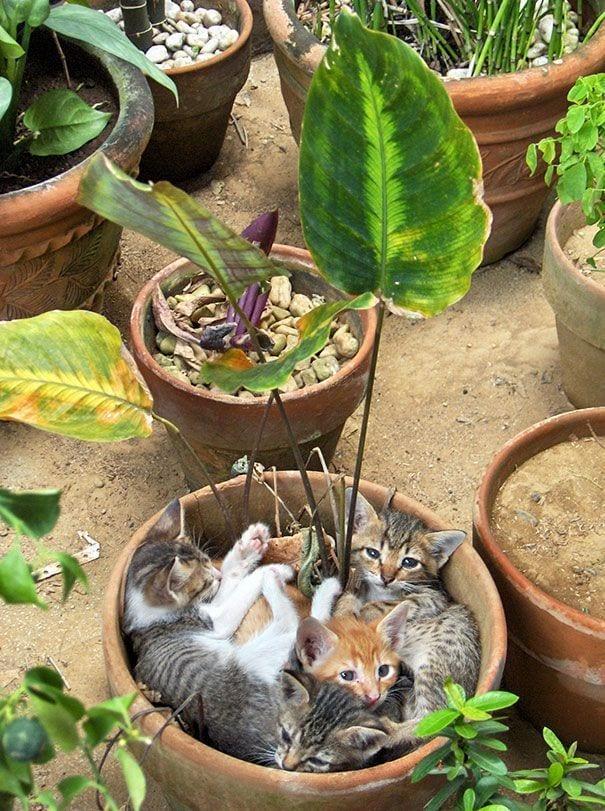 gatos en maceta 3
