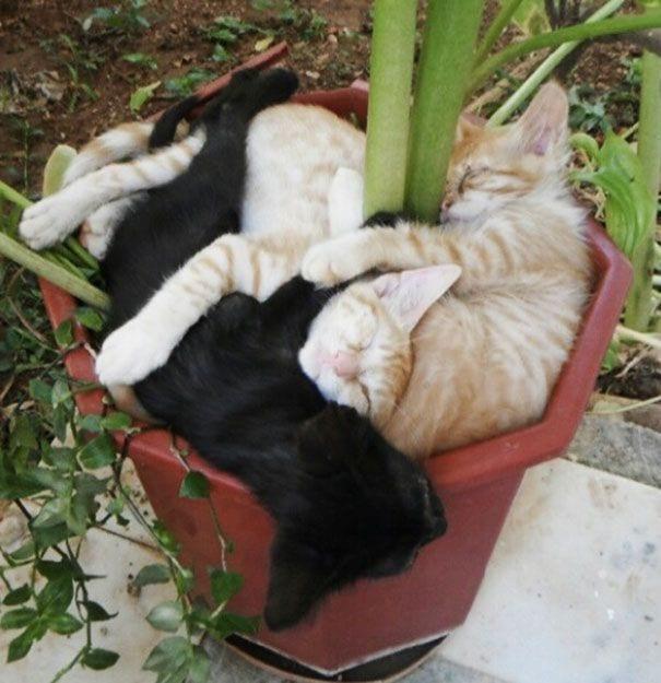 gatos en maceta 4