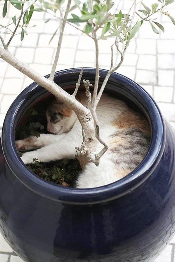 gatos en maceta 8