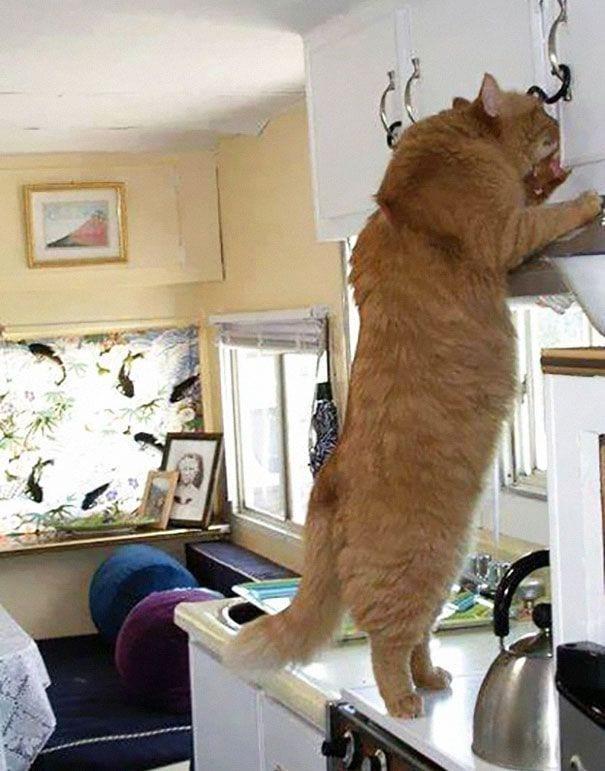 gatos gigantes 13