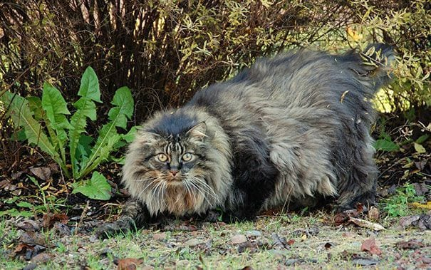 gatos gigantes 20