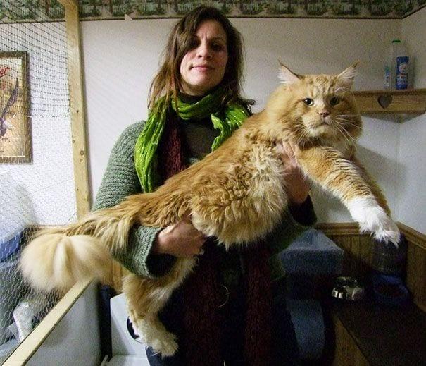 gatos gigantes 21