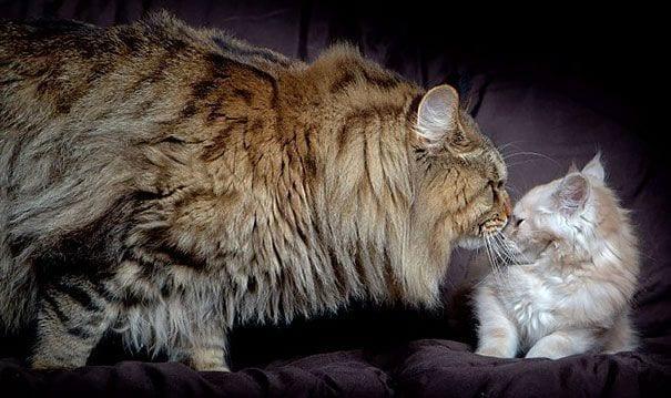 gatos gigantes 23