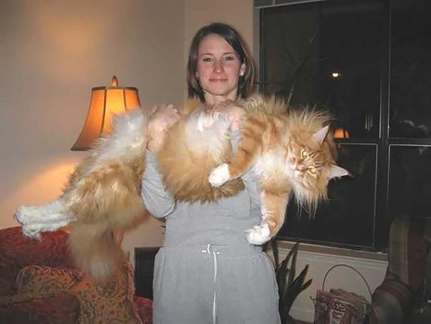 gatos gigantes 25