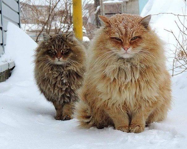 gatos gigantes 3