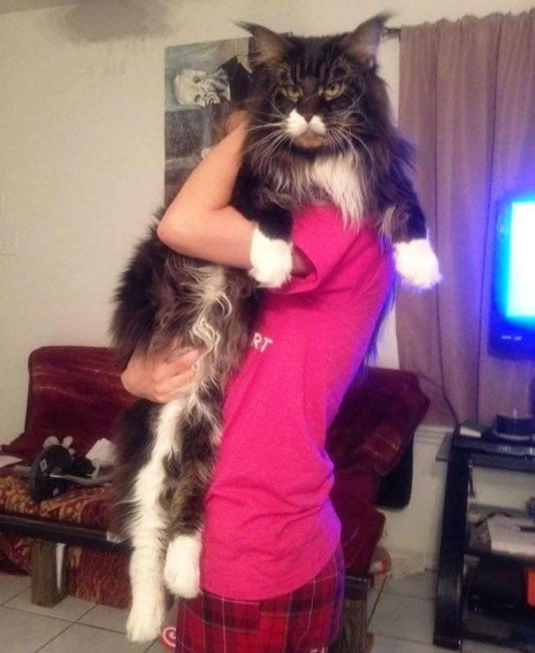 gatos gigantes 7