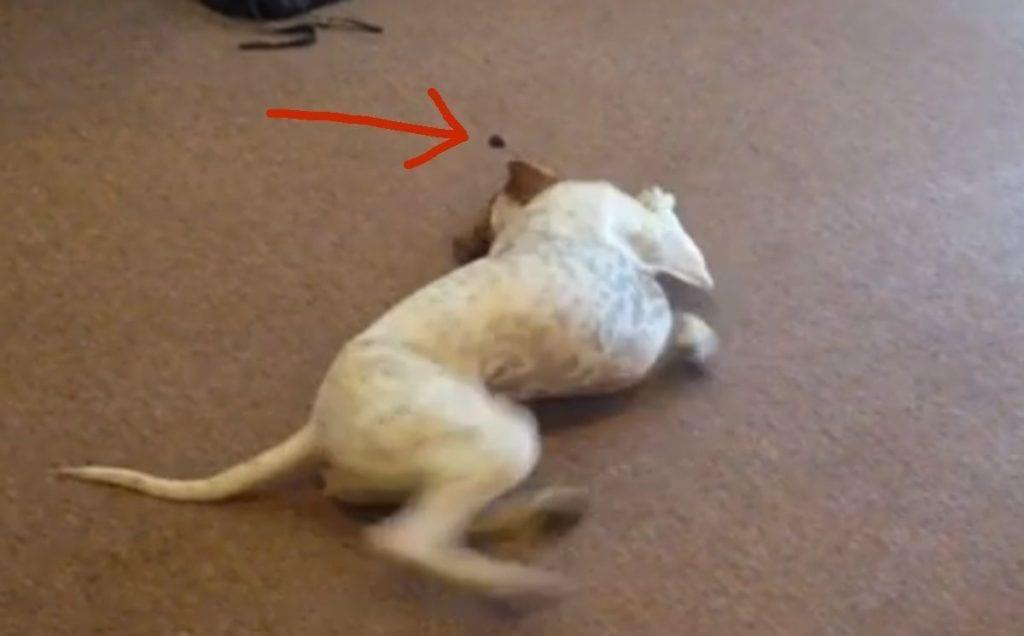 perro ciruela