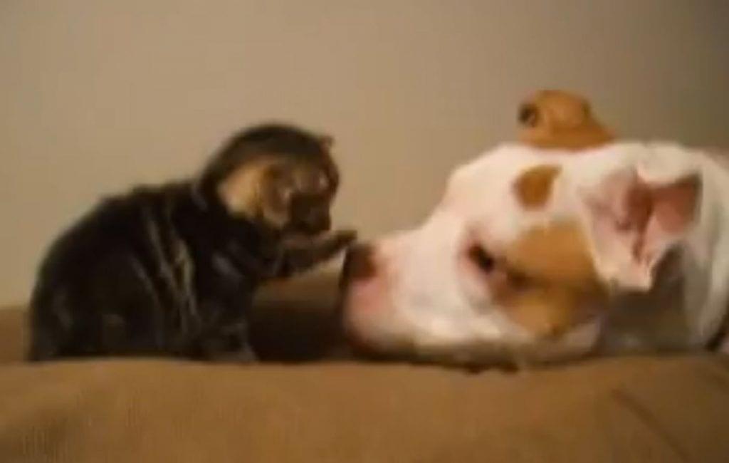 pitbull gatito