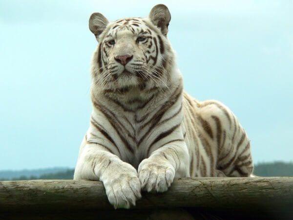 tigre-albino
