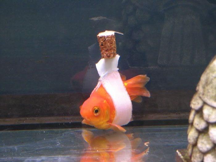 pez silla de rueda