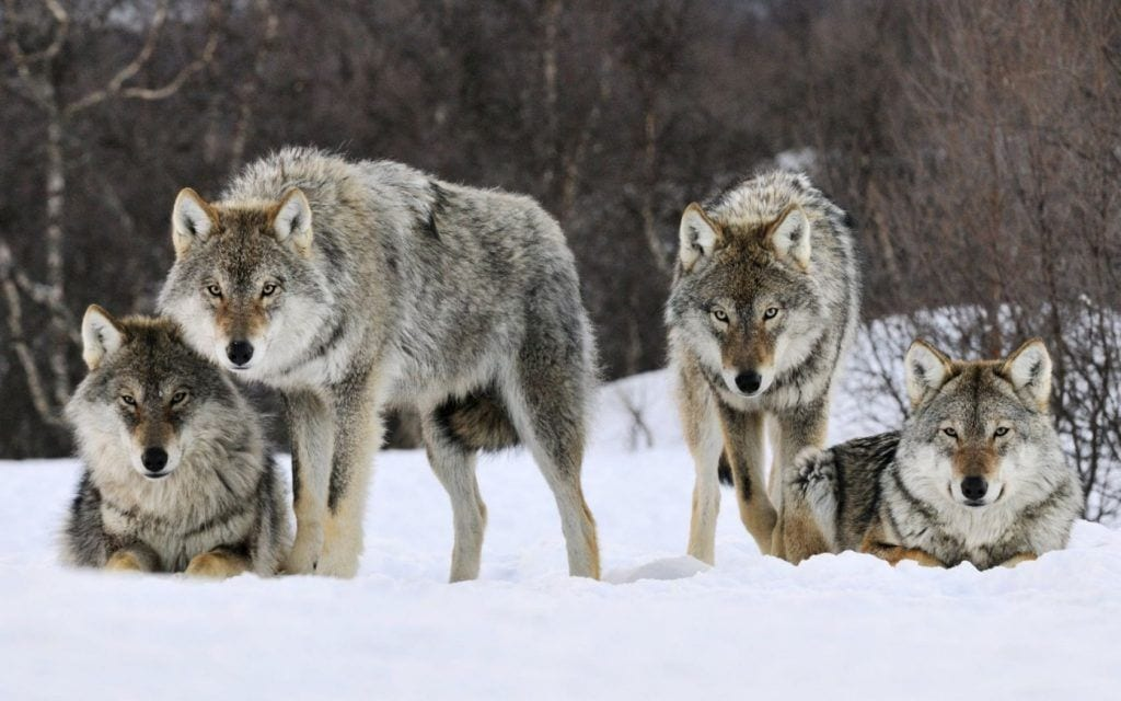 El-lobo-gris