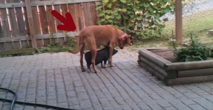 cerdo perro refugio