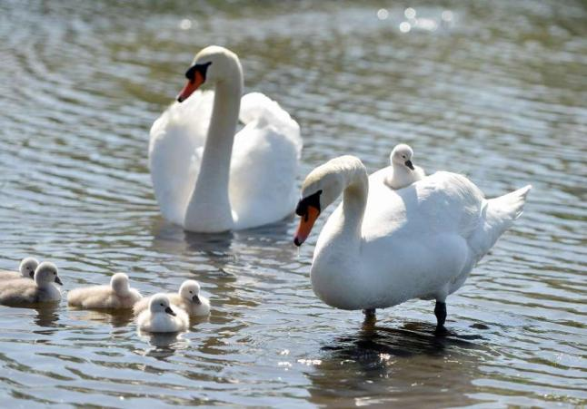 familia-cisnes