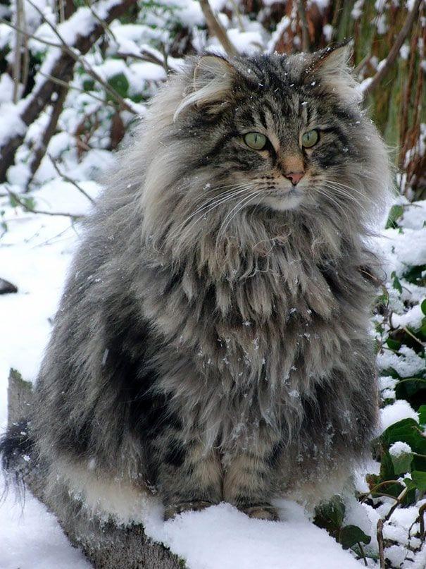 gato-mascota-peludo-grande-ojos-verdes-nieve