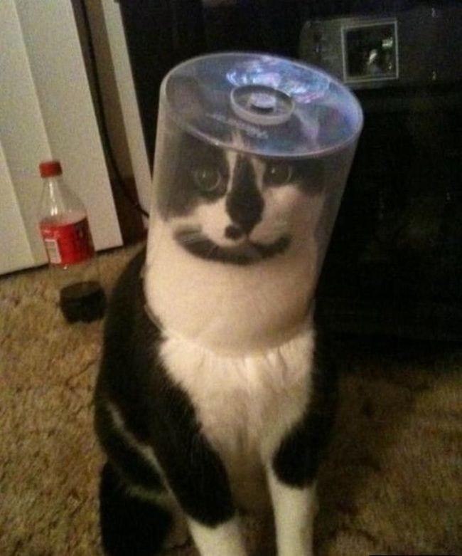 mascota-gato-tonto-blanco-negro-cabeza-dentro--caja-cd
