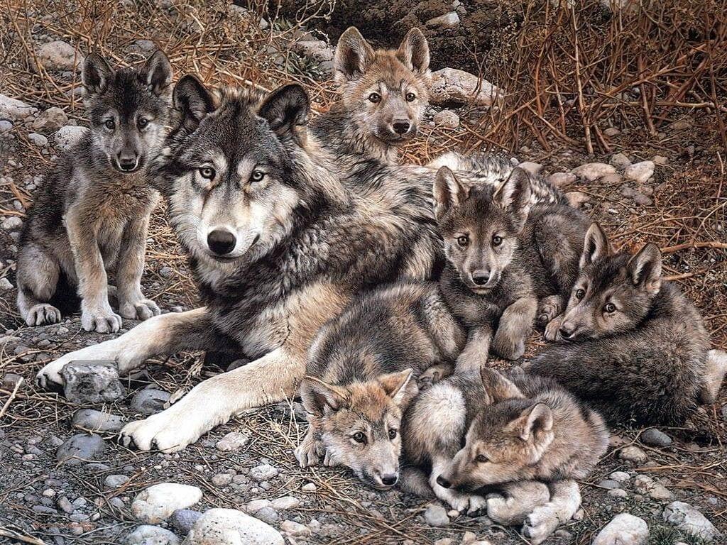 lobos-crias