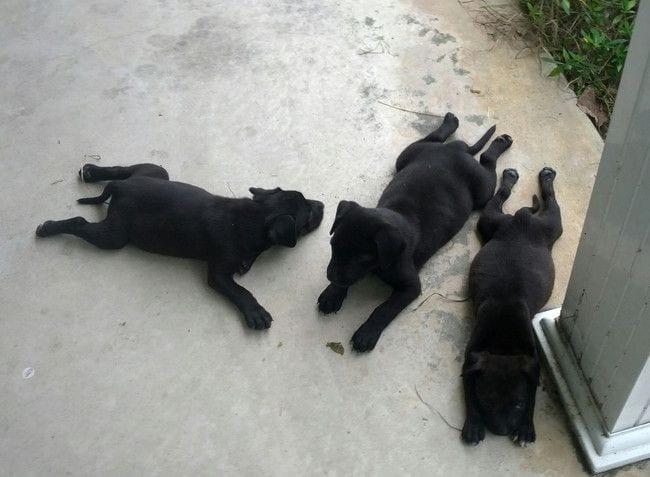 perros-cansados-13