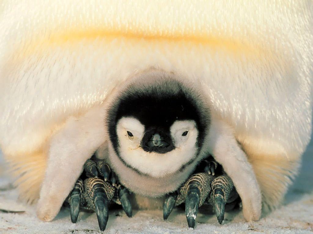 pinguieno-emperador
