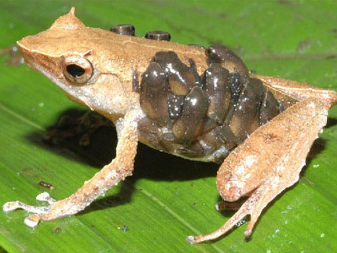 sphenophrynecornuta