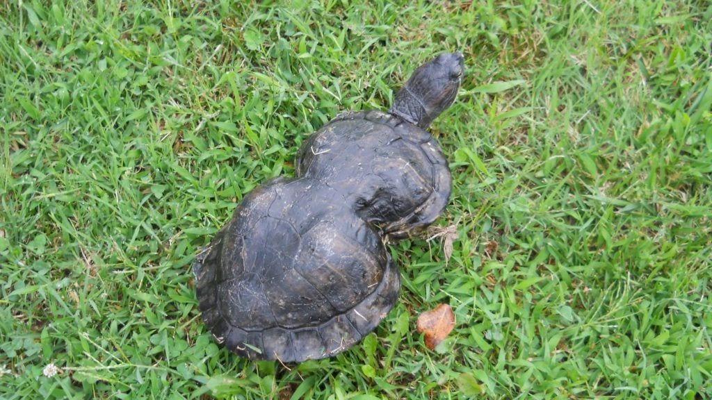 tortuga-cacahuete-02