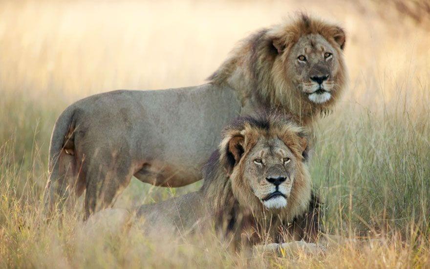 cecil_lion_12