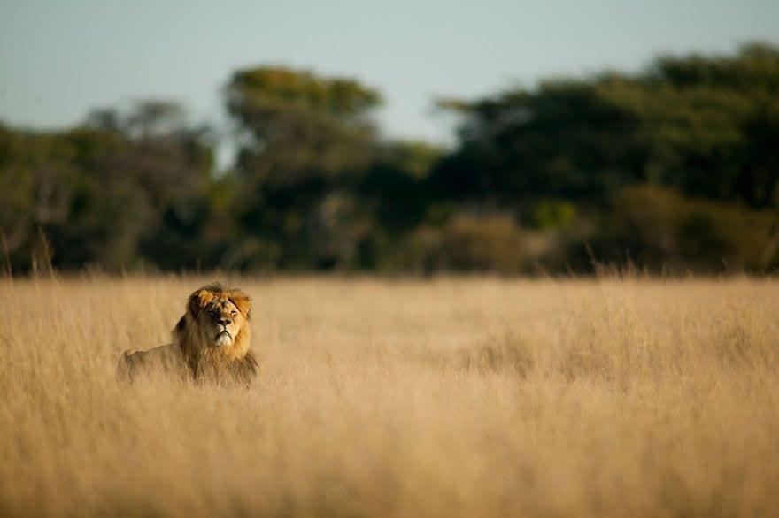 cecil_lion_2