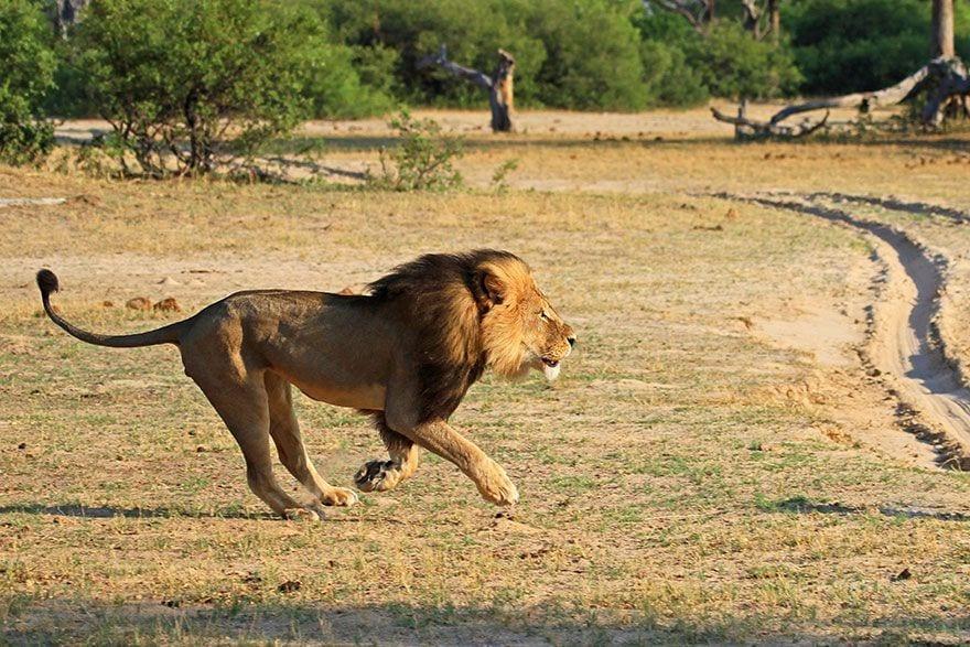 cecil_lion_3