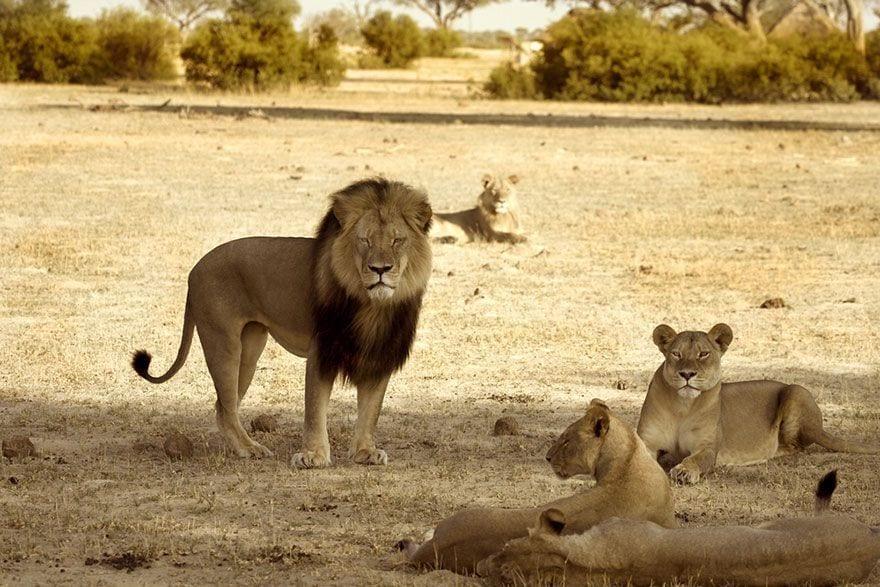 cecil_lion_9