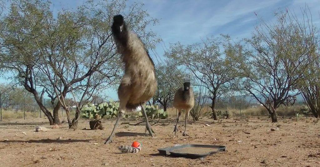 emus tango
