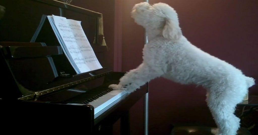 perro cantando piano