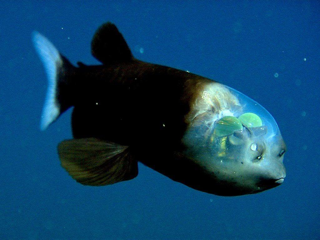 pez transparente