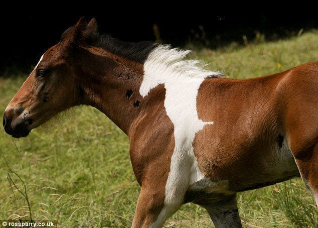 potro con mancha de caballo 1