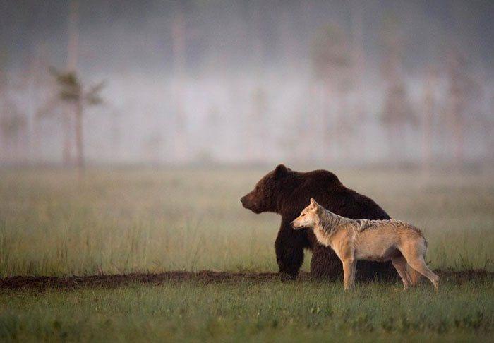 amistad entre oso y lobo 1
