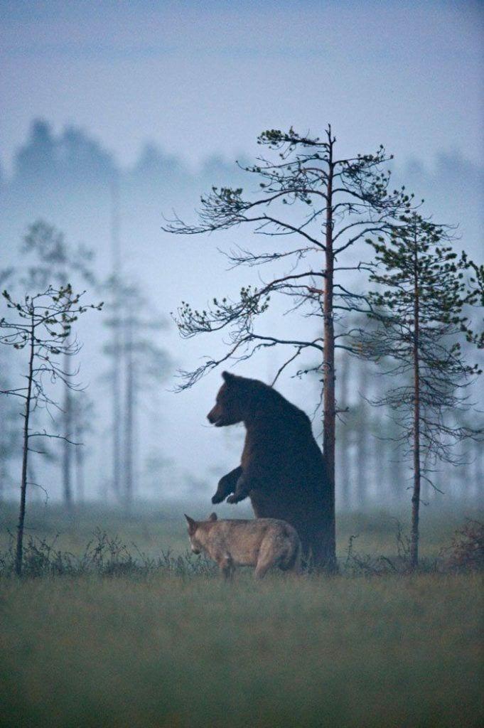 amistad entre oso y lobo 10
