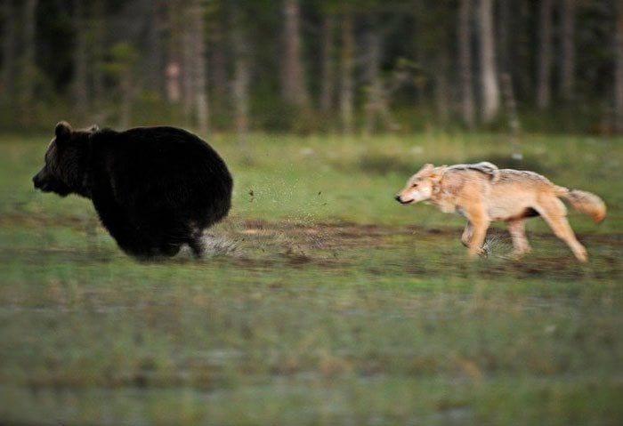 amistad entre oso y lobo 4