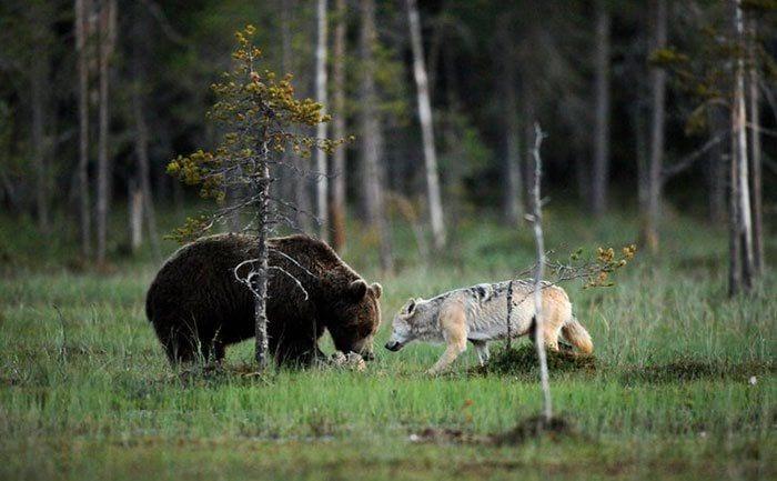 amistad entre oso y lobo 7