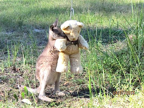 canguro abrazando peluche 01