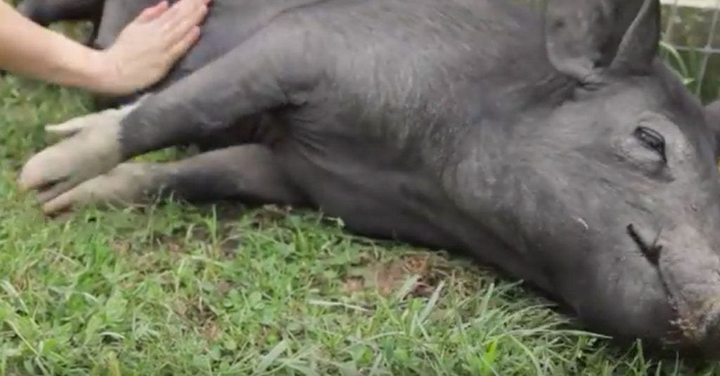 cerdo feliz cosquillas
