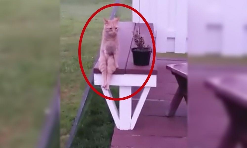 gato sentado like humano portada