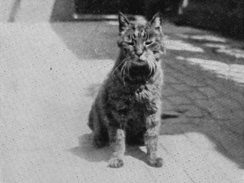 gatos heroicos de la historia 8