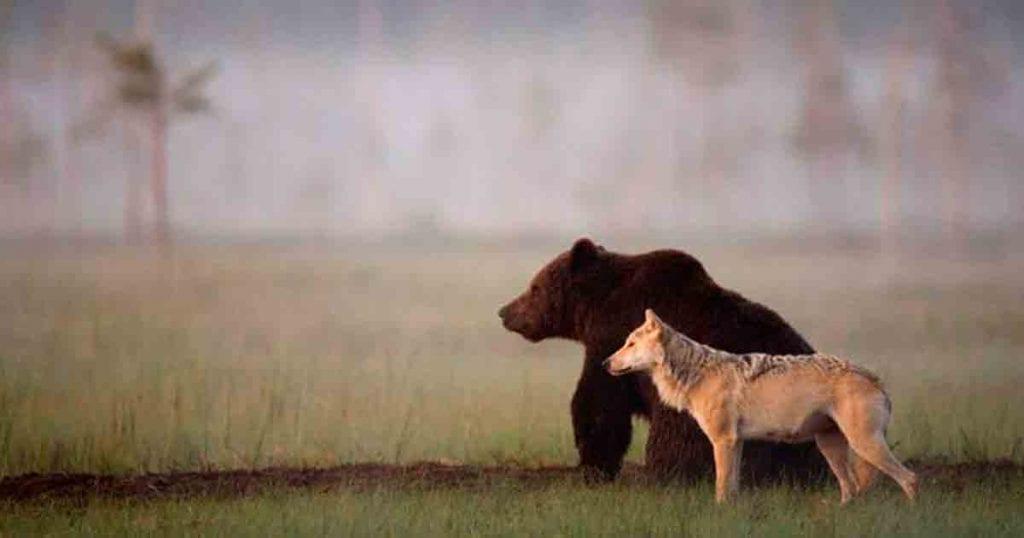 lobo oso amigos