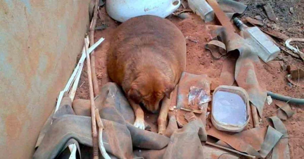 perra abandonado obesa