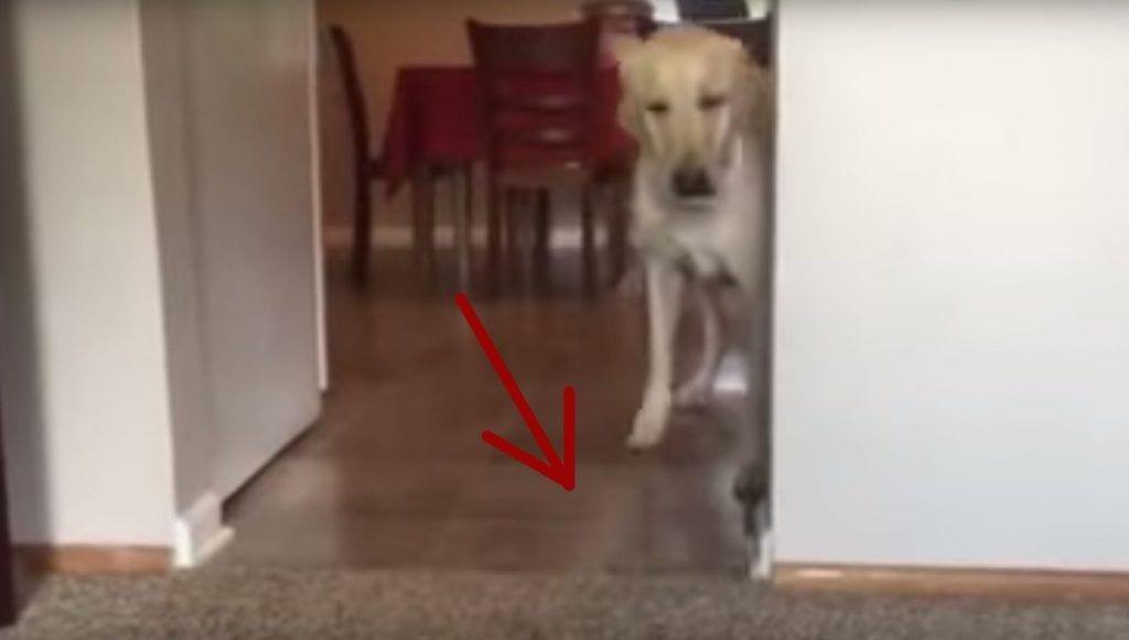Perro supera su miedo a pisar una alfombra