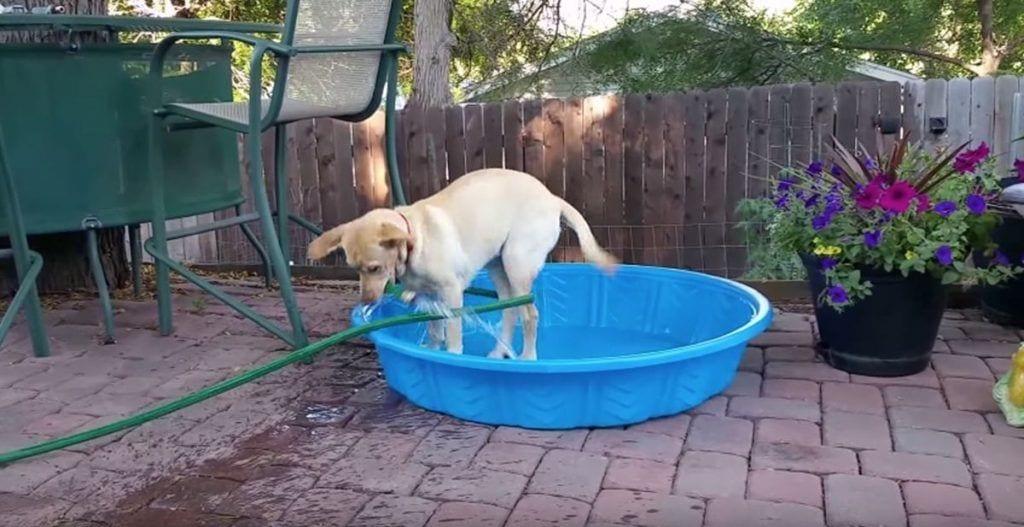 perro labrador se llena la piscina