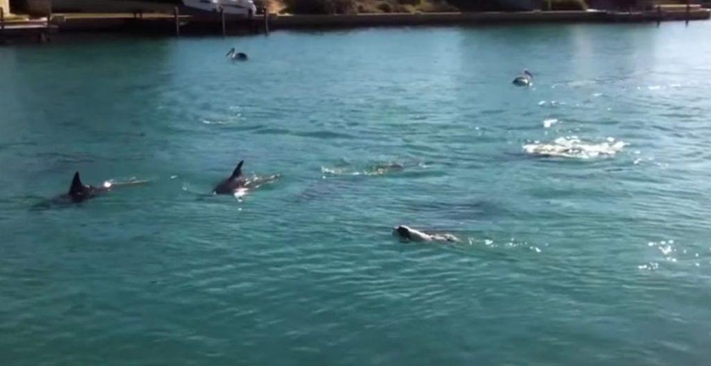 perro nadando con delfines