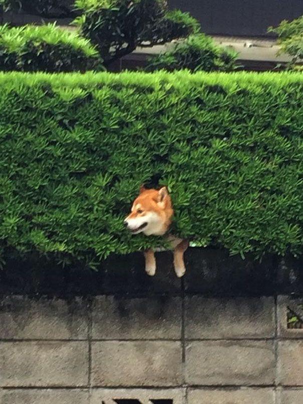 perro-shiba-atrapado-arbusto-01