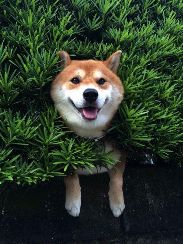 perro-shiba-atrapado-arbusto-02