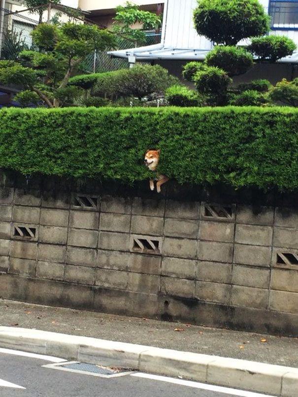 perro-shiba-atrapado-arbusto-03