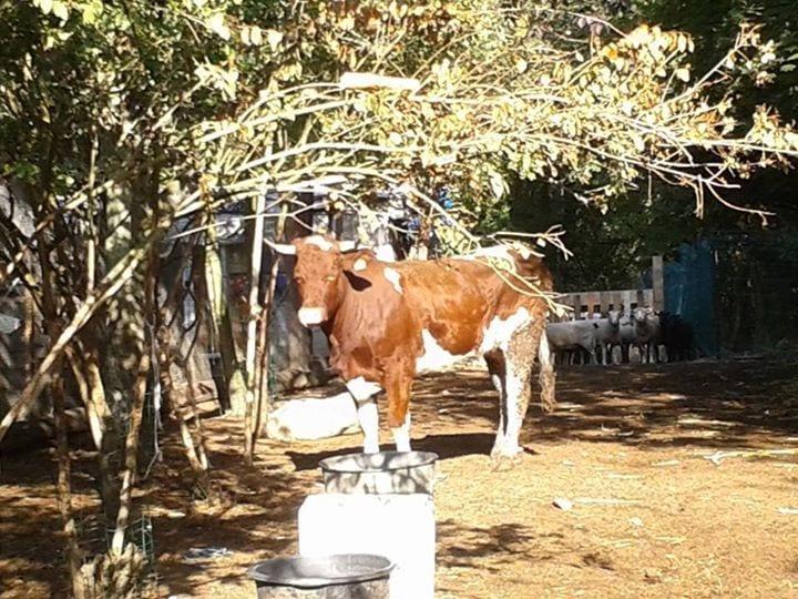 vaca-2